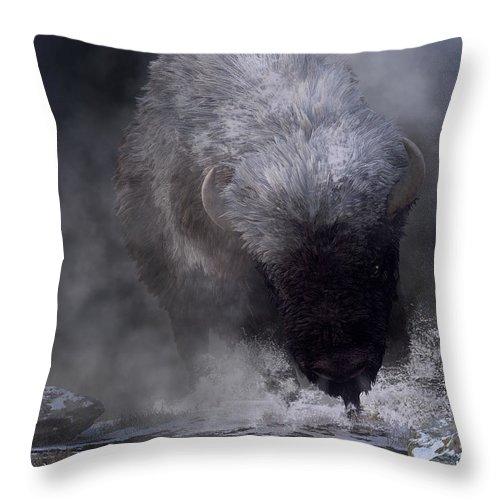Buffalo Charging Through Snow