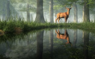 White Tailed Deer Reflected